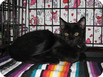 Domestic Shorthair Cat for adoption in Houston, Texas - Armani