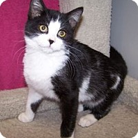 Adopt A Pet :: K-Samples2-Domino - Colorado Springs, CO