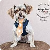 Adopt A Pet :: Winston - Shawnee Mission, KS