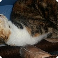 Calico Cat for adoption in Raleigh, North Carolina - Firefly