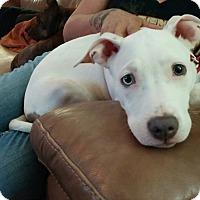 Adopt A Pet :: Adele - Las Vegas, NV