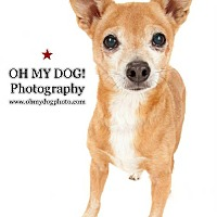 Chihuahua Dog for adoption in San Diego, California - Richie