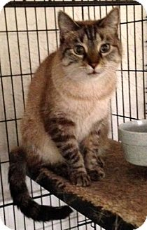 Siamese Cat for adoption in Ft Myers Beach, Florida - Saved from a hoarding house!!