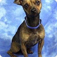 Adopt A Pet :: Camilla - Westminster, CO