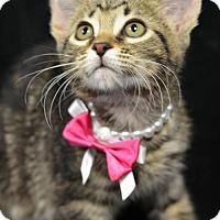 Domestic Shorthair Kitten for adoption in Atlanta, Georgia - Primrose161094