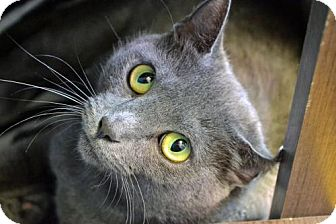 Domestic Shorthair Cat for adoption in Akron, Ohio - Gracie