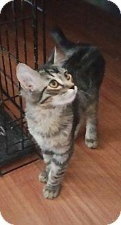 Domestic Shorthair Kitten for adoption in temecula, California - sugar