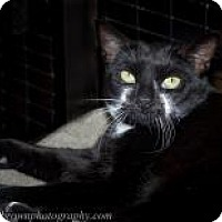 Domestic Shorthair Cat for adoption in Wellesley, Massachusetts - Willow