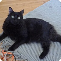 Manx Cat for adoption in Quail Valley, California - Fozzy