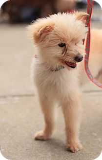 Terrier (Unknown Type, Medium)/Poodle (Miniature) Mix Dog for adoption in Morganville, New Jersey - Oliver