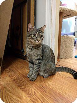 American Shorthair Cat for adoption in Lowell, Massachusetts - Mom