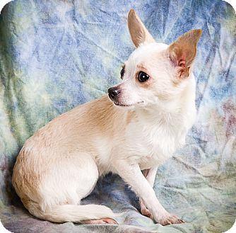 Chihuahua/Maltese Mix Puppy for adoption in Anna, Illinois - PORTIA