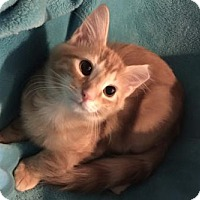 Domestic Mediumhair Kitten for adoption in Grove City, Ohio - Wade