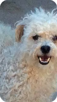 Poodle (Miniature) Dog for adoption in Peralta, New Mexico - **LAMBOUGH-Extremely fearful