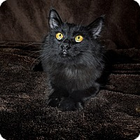 Domestic Longhair Kitten for adoption in Van Nuys, California - Louise