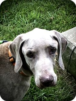 Weimaraner Dog for adoption in Osgood, Indiana - Sparty