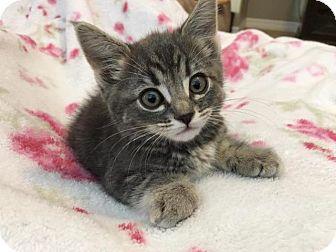 Domestic Shorthair Kitten for adoption in Menifee, California - Carla
