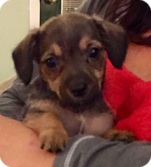 Miniature Schnauzer/Dachshund Mix Puppy for adoption in PARSIPPANY, New Jersey - MOLLY, MOE and MIKE