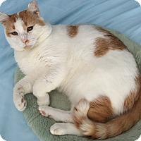 Domestic Shorthair Cat for adoption in Mt Pleasant, South Carolina - Vinny