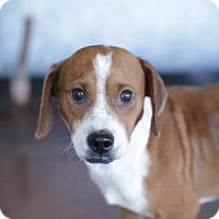 Adopt A Pet :: Arthur - San Antonio, TX