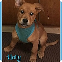 Adopt A Pet :: Holly - Elburn, IL