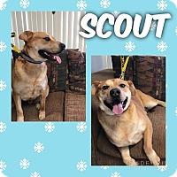 Adopt A Pet :: Scout - Garden City, MI