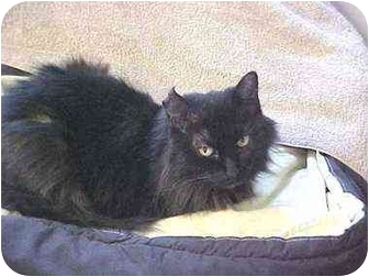 Domestic Longhair Cat for adoption in Quincy, Massachusetts - Sabrina