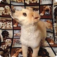 Adopt A Pet :: Goldie - Saskatoon, SK