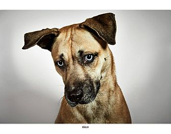 Husky/Labrador Retriever Mix Dog for adoption in New York, New York - Bella