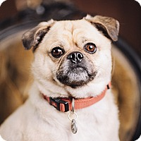 Adopt A Pet :: Banjo - Portland, OR
