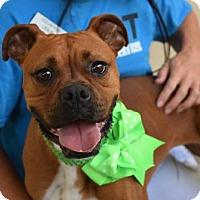 Adopt A Pet :: Tatiana - McKinney, TX