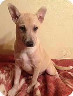 Miniature Pinscher Mix Puppy for adoption in Allentown, Pennsylvania - Aubree