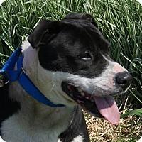 Bulldog/Boxer Mix Dog for adoption in Monroe, Michigan - Raz