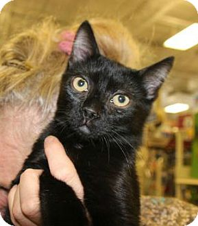 American Shorthair Kitten for adoption in Hazlet, New Jersey - Buzz