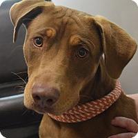 Adopt A Pet :: Loki - Friendswood, TX