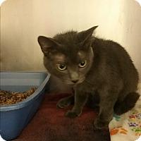 Adopt A Pet :: ash - Muskegon, MI