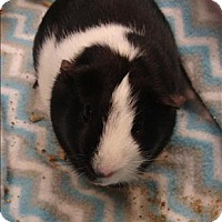Guinea Pig for adoption in Raleigh, North Carolina - Rosko