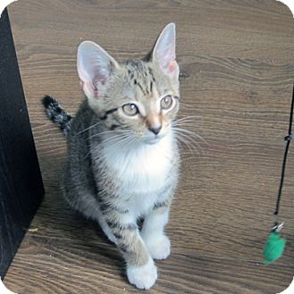 Domestic Shorthair Kitten for adoption in Mississauga, Ontario, Ontario - Vida