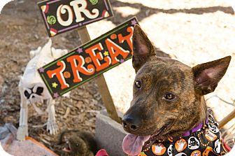 Pit Bull Terrier Mix Dog for adoption in Phoenix, Arizona - XOLI