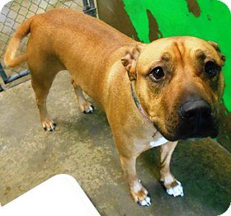 Pit Bull Terrier Mix Dog for adoption in Redding, California - Cedar