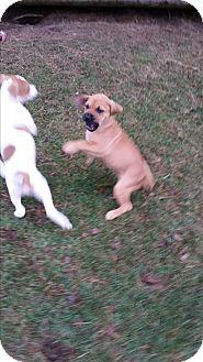 Beagle Mix Puppy for adoption in Chippewa Falls, Wisconsin - Harper