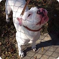 Adopt A Pet :: Callie - Colmar, PA