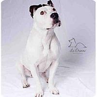 American Staffordshire Terrier Mix Dog for adoption in Salt Lake City, Utah - LUNA
