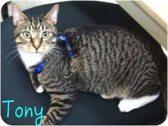 Domestic Shorthair Cat for adoption in Orlando, Florida - Tony