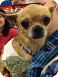 Chihuahua Mix Dog for adoption in Mesa, Arizona - Manny