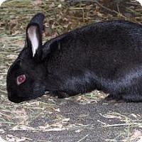 Adopt A Pet :: Catniss - Quilcene, WA