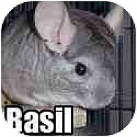Adopt A Pet :: Basil - Virginia Beach, VA