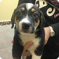 Adopt A Pet :: Puppies - Hamilton, ON
