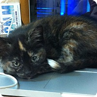 Adopt A Pet :: Pooka - St. Louis, MO