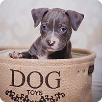 Adopt A Pet :: Hudson - San Jose, CA